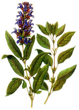 Salvia Officinalis: clicca per ingrandire